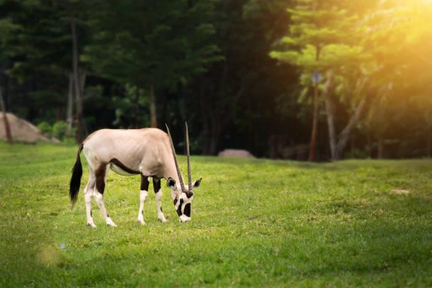 gemsbock (oryx gazella) äta något på grönt gräs i open zoo - gemsbok green bildbanksfoton och bilder