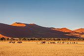 Gemsbok Herd walking on Dry Prairie Landscape in the warm sunset light in front of the Namibian Desert Sand Dunes at Sossusvlei, Sesriem, Namib-Naukluft National Park, Namibia, South West Africa.