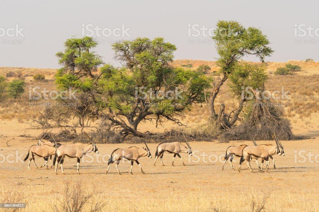 Gemsbok Herd royalty-free stock photo