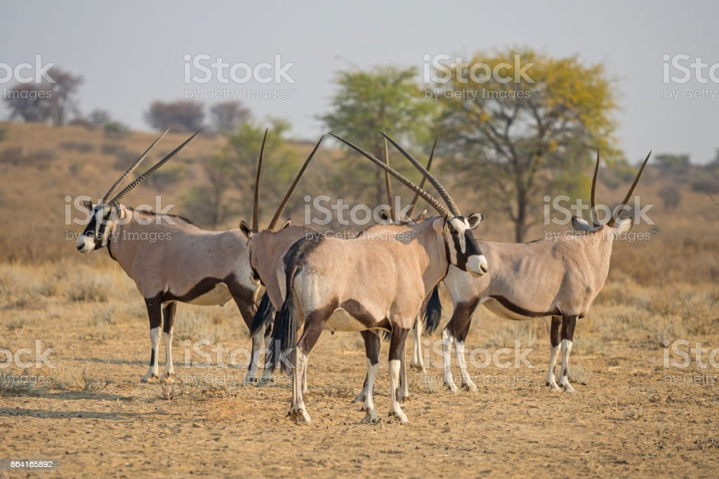 Gemsbok Herd royalty-free stock photo