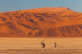 Early morning view on oryx gazellas in front of big sand dunes at the famous landmark Sossusvlei, Namib Desert, Namib Naukluft Park, Namibia
