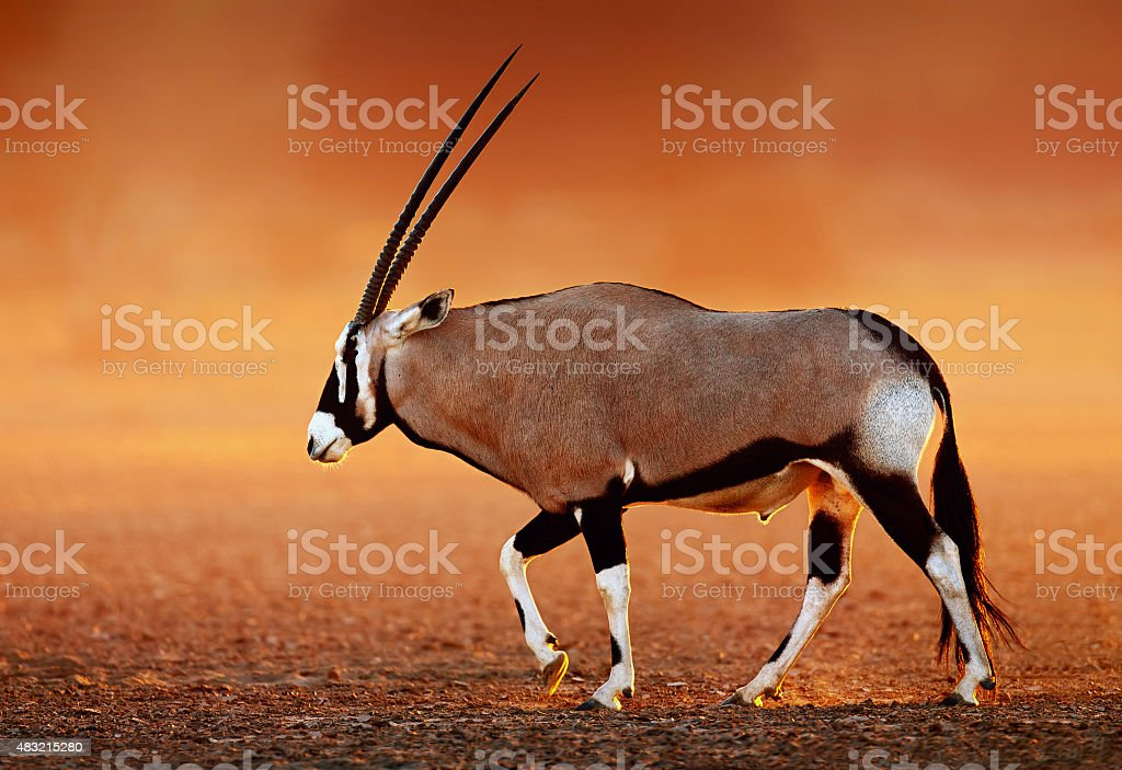 Gemsbok  on  desert plains at sunset stock photo