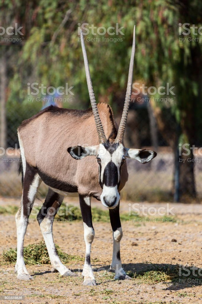 Gemsbok or gemsbuck stock photo