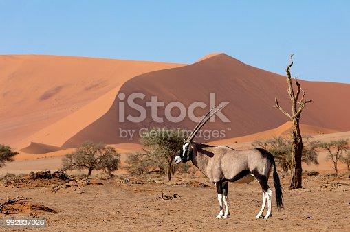 istock Gemsbok, Oryx gazella on dune, Namibia Wildlife 992837026