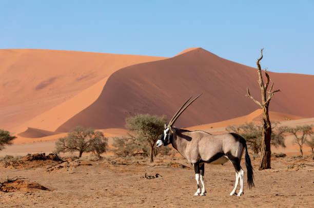 Gemsbok, Oryx gazella on dune, Namibia Wildlife Gemsbok, Oryx gazella behind red dunes in Sossusvlei, Namibia wildlife safari namib desert stock pictures, royalty-free photos & images
