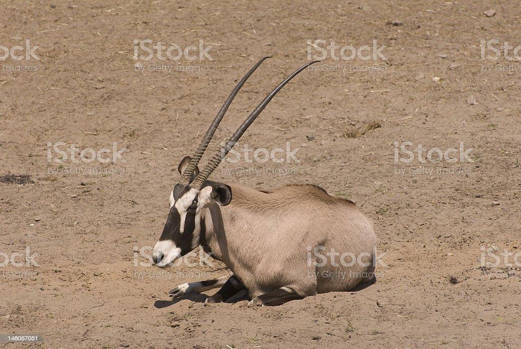Gemsbok (Oryx Gazella) stock photo