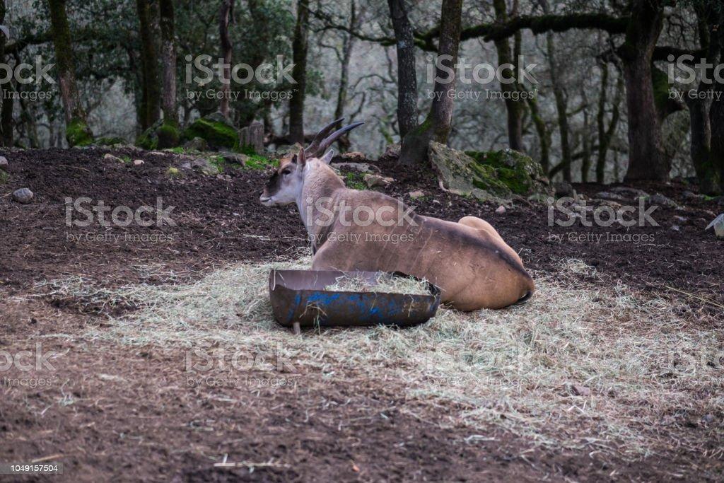 Gemsbok sitting in hay in captivity stock photo