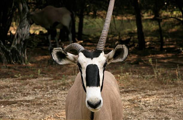 Gemsbok tuxedo with bent horn