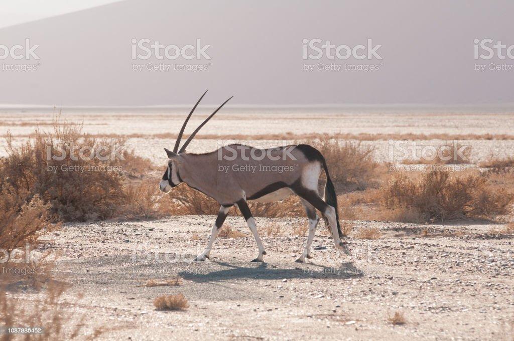 Gemsbock zu Fuß durch die Wüste/Savannah in Namibia – Foto