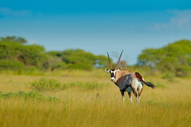 gemsbok med grön skog, kvällssolnedgång. gemsbuck, oryx gazella, stor antilop i naturlivsmiljö, nxai pan, botswana, afrika. vilda djur i savannen. djur med stort rakt horn. - gemsbok green bildbanksfoton och bilder