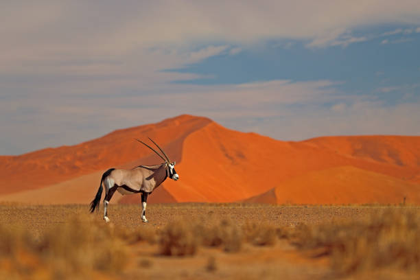 Gemsbok with orange sand dune evening sunset. Gemsbuck, Oryx gazella, large antelope in nature habitat, Sossusvlei, Namibia. Wild animals in the savannah. Animal with big straight antler horn. stock photo