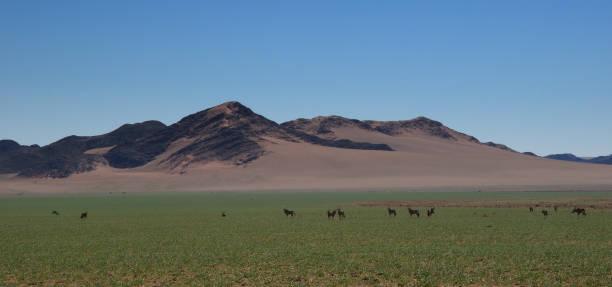 gemsboks bete i gröna öknen - gemsbok green bildbanksfoton och bilder