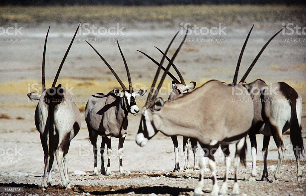 Gemsboks royalty-free stock photo