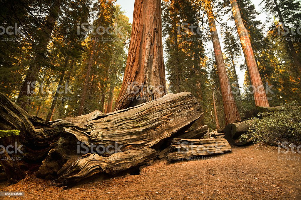 General Grant Grove trees royalty-free stock photo