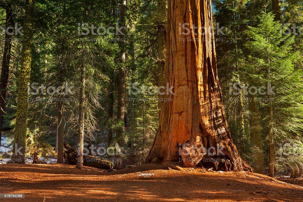 General Grant Grove árvores - foto de acervo