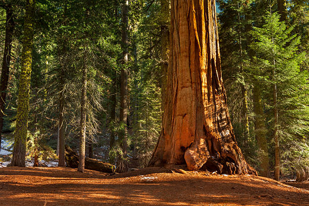 general grant grove trees - natural landmark stock pictures, royalty-free photos & images