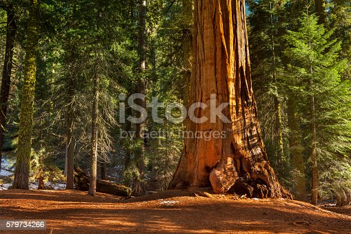 General Grant Grove Trees Stock Photo & More Pictures Of