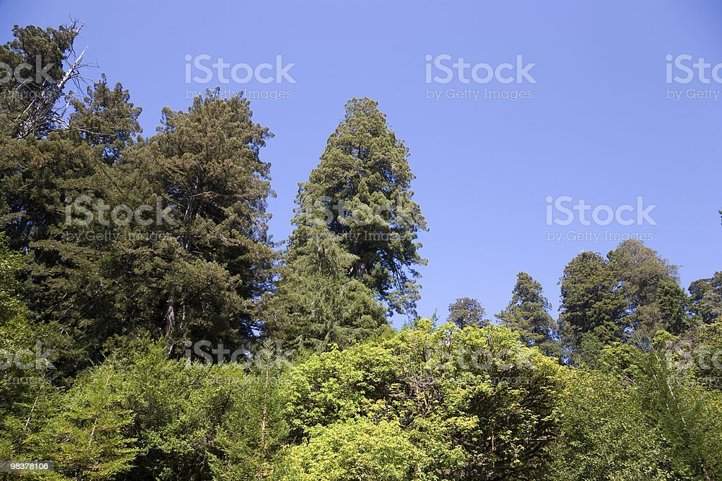 General Grant tree royalty-free stock photo