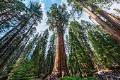 Sequoia National Park, California, USA - January 4, 2018 : Tourists by the General Sherman Tree. This tree is the largest known living single stem tree on Earth.
