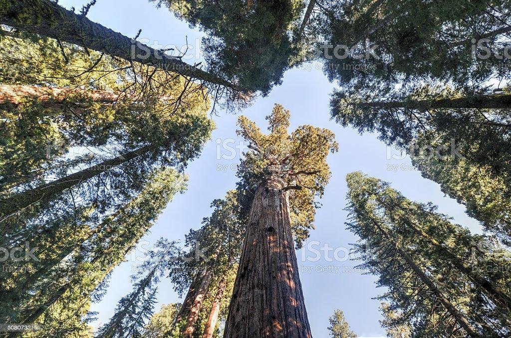 General Sherman Sequoia Tree stock photo