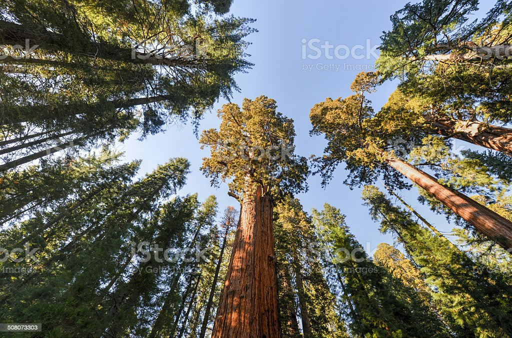 General Sherman Sequoia Tree stock photo