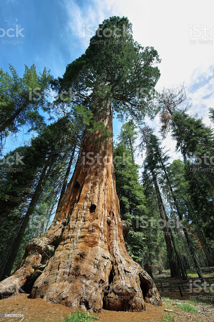 General Sherman tree in Giant Forest of Sequoia National Park stock photo