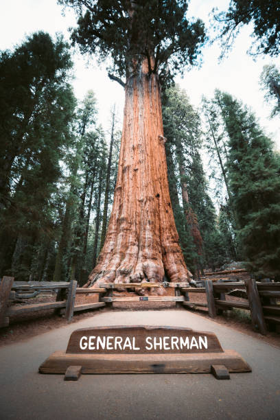 General Sherman Tree, der größte Baum der Welt nach Volumen, Sequoia National Park, Kalifornien, USA – Foto