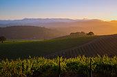 generic vineyard in the Napa valley