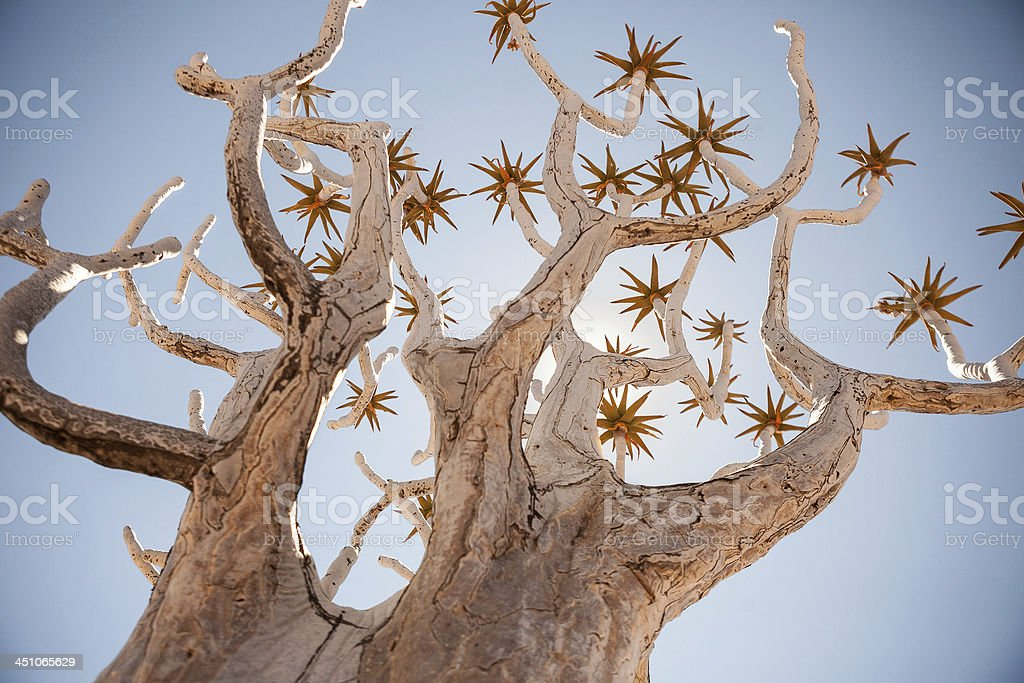Generic Quiver Tree shot from dynamic angle stock photo