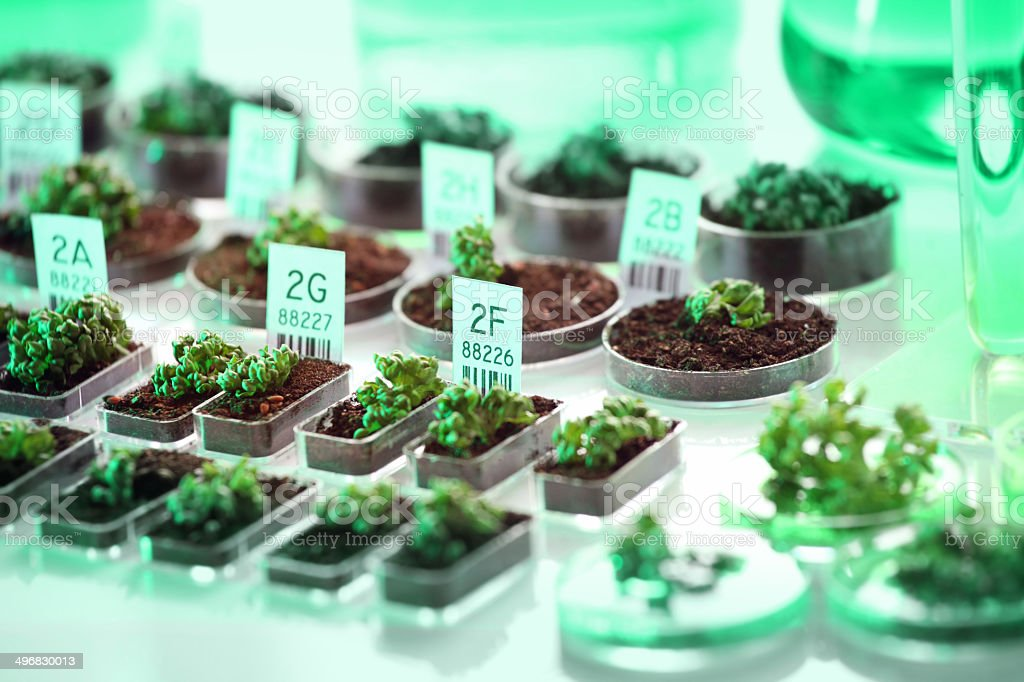 Genetic experiment: genetically modified organism, plants and seeds stock photo