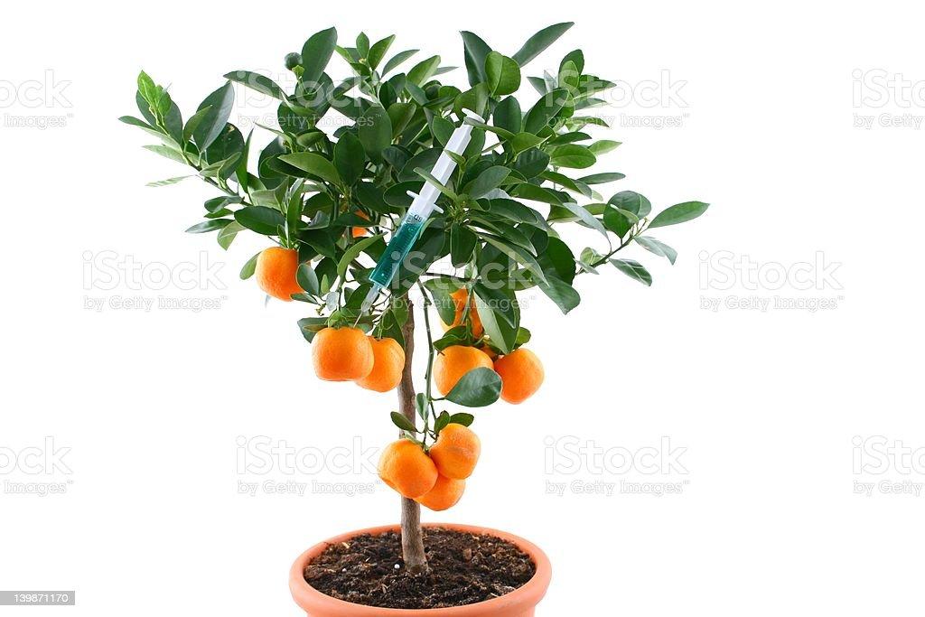Genetic modyfication orange tree royalty-free stock photo