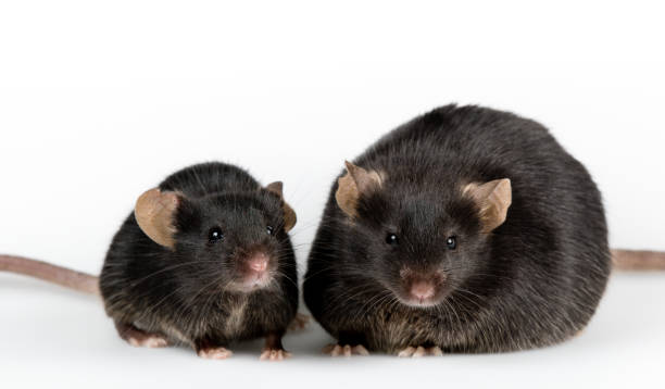 Genetic obese mouse with black healthy control stock photo