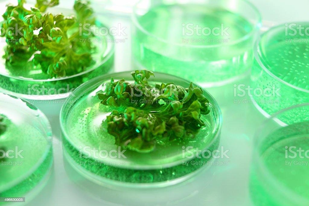 Genetic research: genetically modified organism, biology lab growing plants stock photo