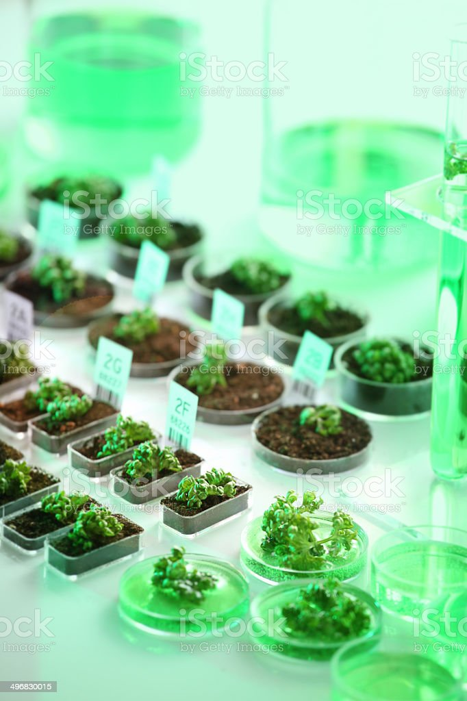 Genetic research: genetically modified organism, plants and seeds biotechnology experiment stock photo