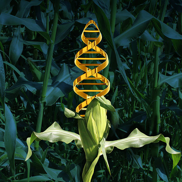 genetically modified crops - genetic modification stock photos and pictures