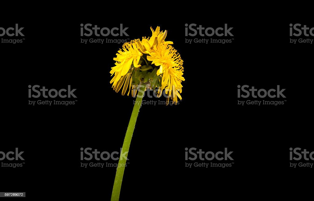 Genetically modified dandelion royalty-free stock photo