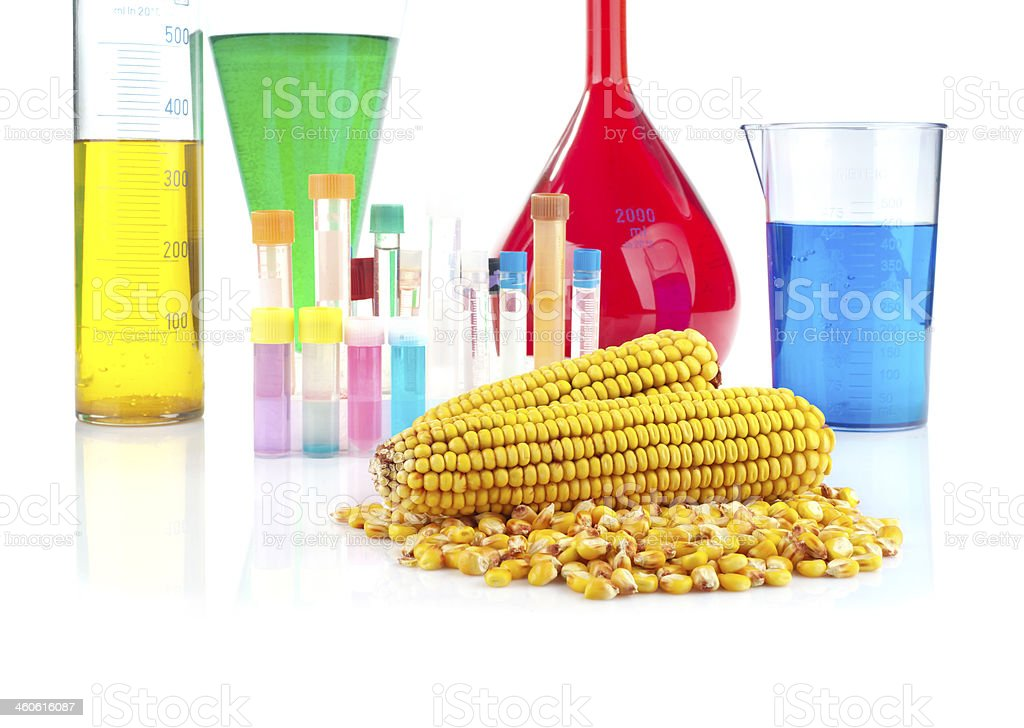 Genetically modified organism - maize and laboratory glassware royalty-free stock photo