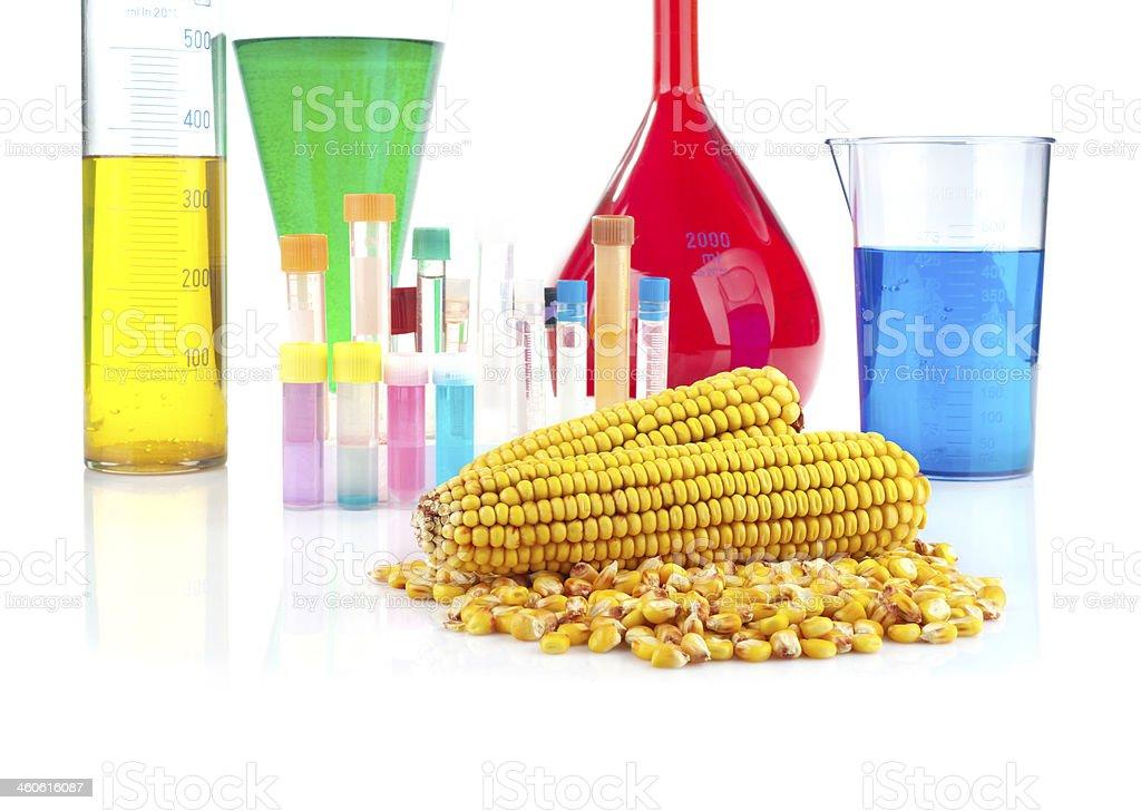 Genetically modified organism - maize and laboratory glassware stock photo