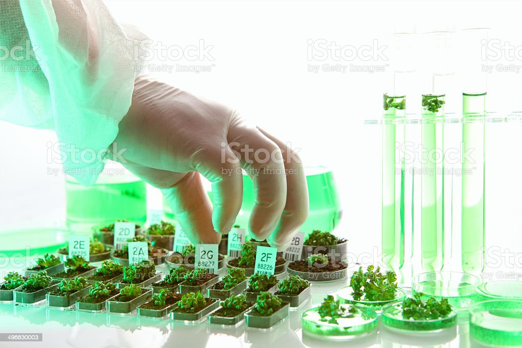 Genetically modified organism, plants and seeds, scientist working, biotechnology experiment stock photo