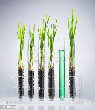 891126108istockphoto Genetically modified wheat grass in test tubes 467658412