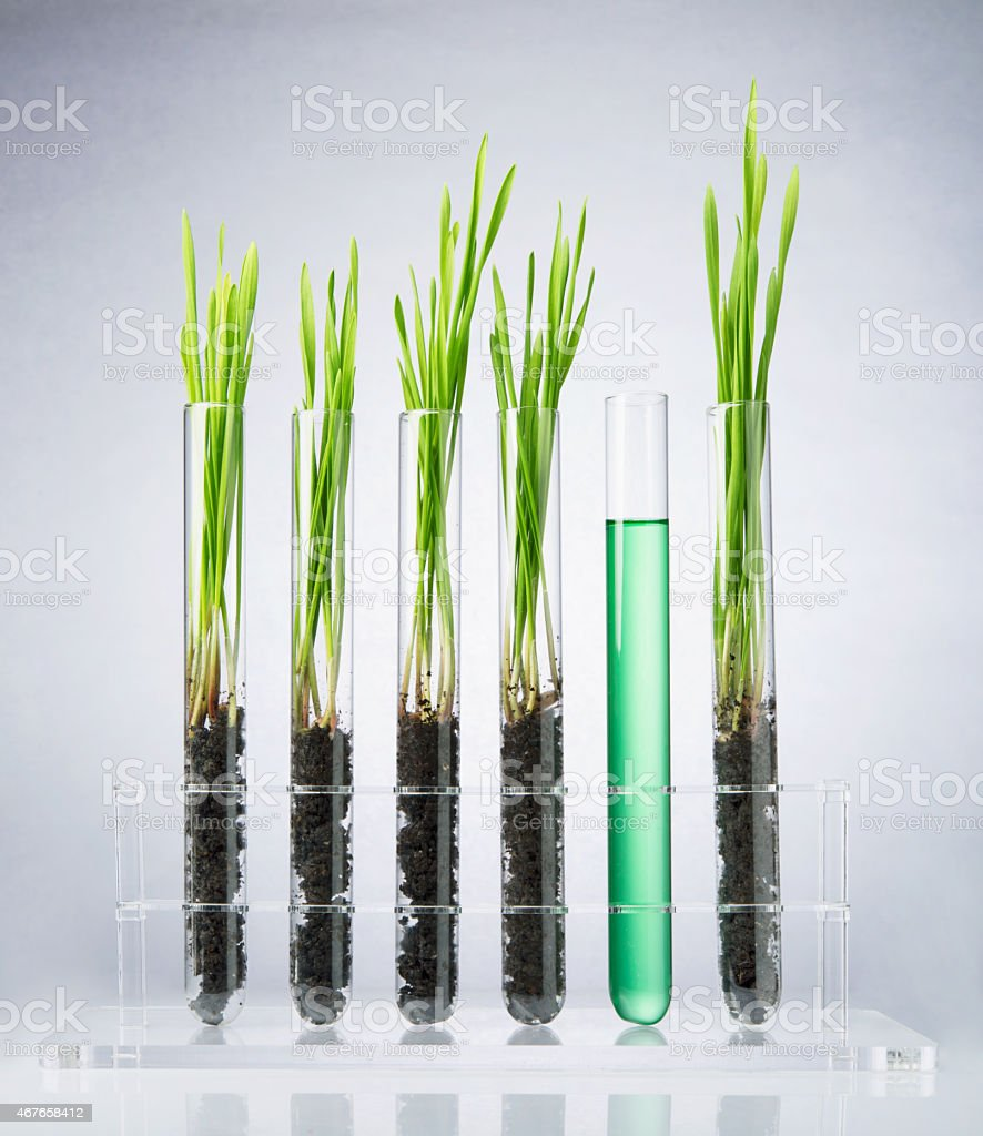 Genetically modified wheat grass in test tubes stock photo