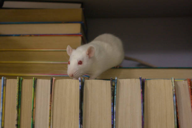 genius. white rat in the bookcase. symbol of the 2020 stock photo