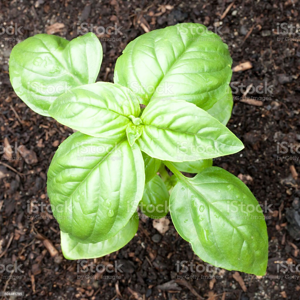Genovese Basil Seedling Growing in an Organic Garden Green and healthy Genovese basil (Ocimum basilicum) seedling plant growing in organic garden soil Annual - Plant Attribute Stock Photo