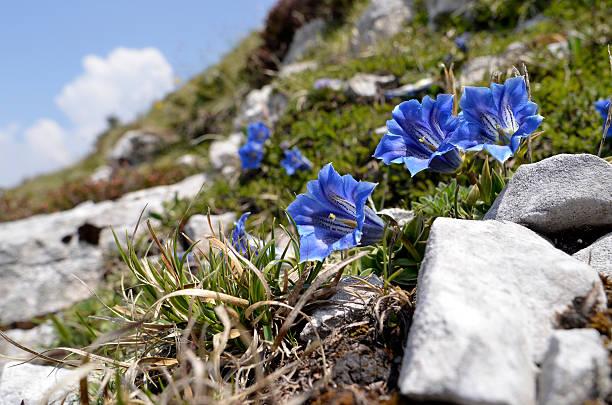 gentian flower - gentiaan stockfoto's en -beelden