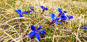 Small group of gentian flowers in bloom in spring time.
