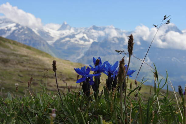 Gentian in Swiss alps. panoramic view in the background. stock photo