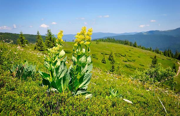 gentian (gentiana lutea) on a background of mountains - gentiaan stockfoto's en -beelden