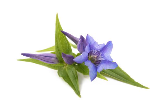gentiana (wilg gentiaan) - gentiaan stockfoto's en -beelden