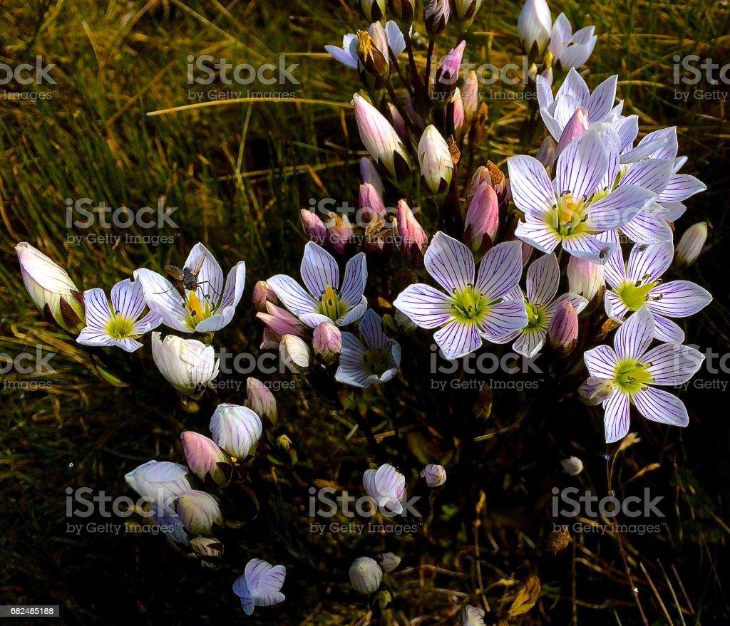 Gentianella diemensis - Australian wildflower Lizenzfreies stock-foto