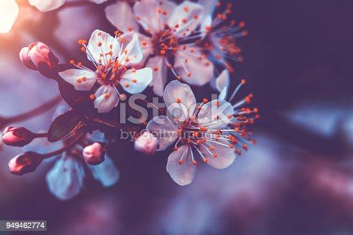 istock Gentle cherry blossom 949462774